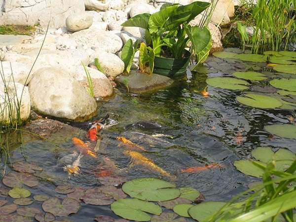 What are the best koi pond plants tips and guides for Water filtering plants for ponds