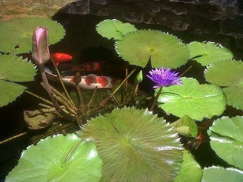 koi pond plants tips