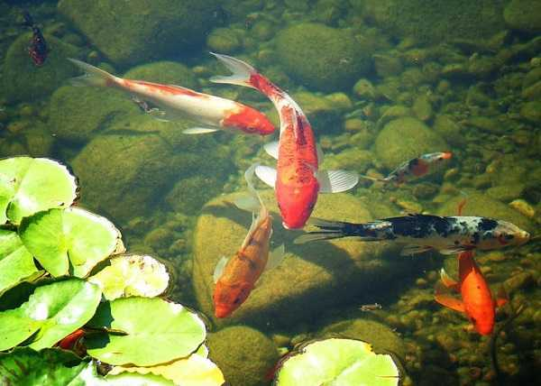 Complete and basic guides about koi pond stocking for Koi pond photos