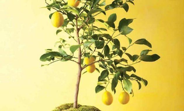 lemon can save your life 1