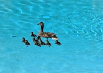 How to Keep Ducks Out of Pool feature