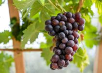 4 Steps on How to Grow Grapes in Your Backyard | Easy DIY Project