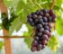 how to grow grapes in your backyard feature