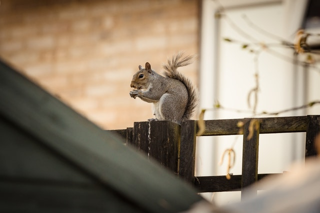 How Wildlife can Damage your Roof (Squirrels)
