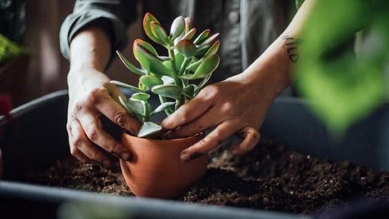 repotting plant